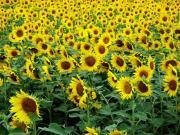 観光農園「花ひろば」